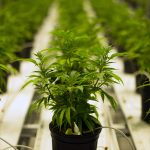 Are There Any Downsides To Marijuana Legalization?